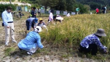 黒米の稲刈り体験