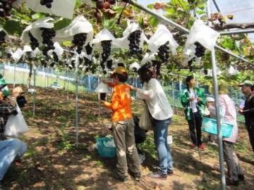 ブドウ収穫体験