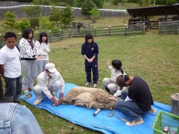 本校農場で本校生の指導によるヒツジの毛刈り体験モニターツアー