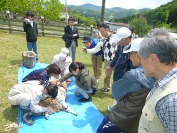 ヒツジの毛刈り(能勢高校農場)