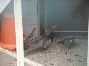 種卵場の親鳥