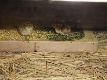孵化3日目のキジ