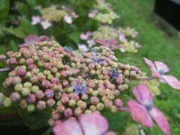 アジサイの本当の花は、中心の小さな花