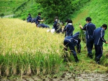 一列に並んで稲刈りを行う環境科学基礎の生徒たち