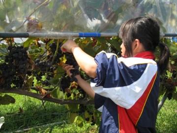 生徒による収穫作業