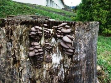 農場交流広場に置かれた切株オブジェにヒラタケ