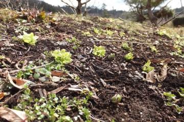 クリ林に咲くフキノトウ