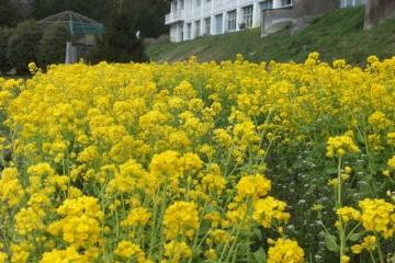 黄色い絨毯ナバナ