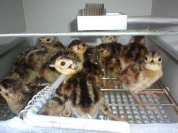 暖かい孵卵器にいるキジのヒナ
