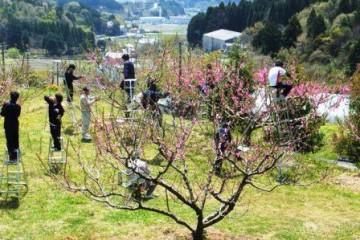 晴天の中でのモモの摘花作業