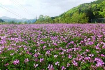 紫色の綺麗なレンゲの絨毯