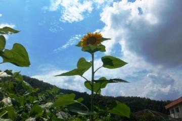 開花一番のヒマワリ