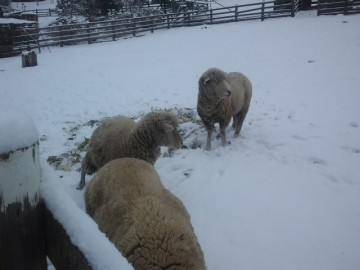 緬羊も雪にびっくり