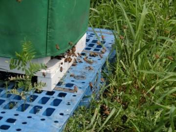 防寒された巣箱の前を乱舞するミツバチ
