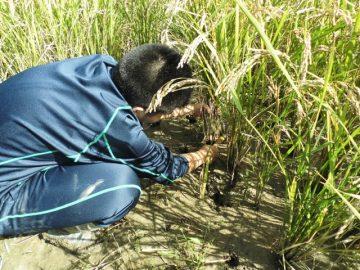 稲刈り鎌での手刈り作業