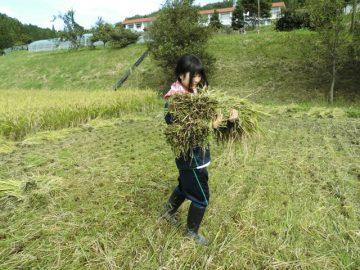 数束づつ稲木へ運搬